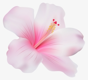 Hibiscus Flower Png Free Hd Hibiscus Flower Transparent Image Pngkit