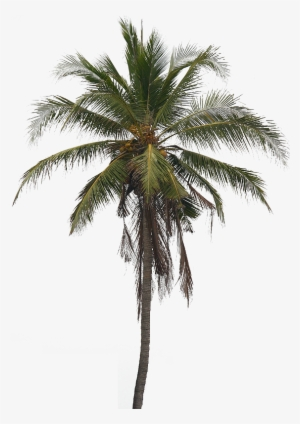 Coconut Tree PNG, Free HD Coconut Tree Transparent Image
