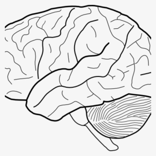 brain outline png free hd brain outline transparent image pngkit brain outline png free hd brain