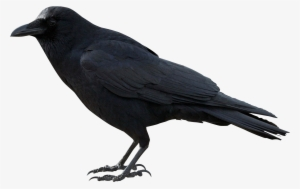 Crow Png Free Hd Crow Transparent Image Page 2 Pngkit